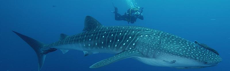 Holbox: El santuario veraniego del Tiburón Ballena