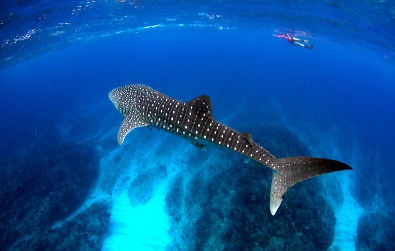 Isla Holbox.. El santuario veraniego del Tiburón Ballena