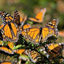 Villa Montaña takes you to the Monarch Butterly Sanctuary