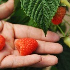 The Raspberry Festival